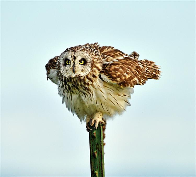 A short-eared owl almost seems to feign innocence as it concentrates on possible prey.