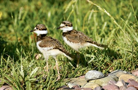 Killdeer chicks