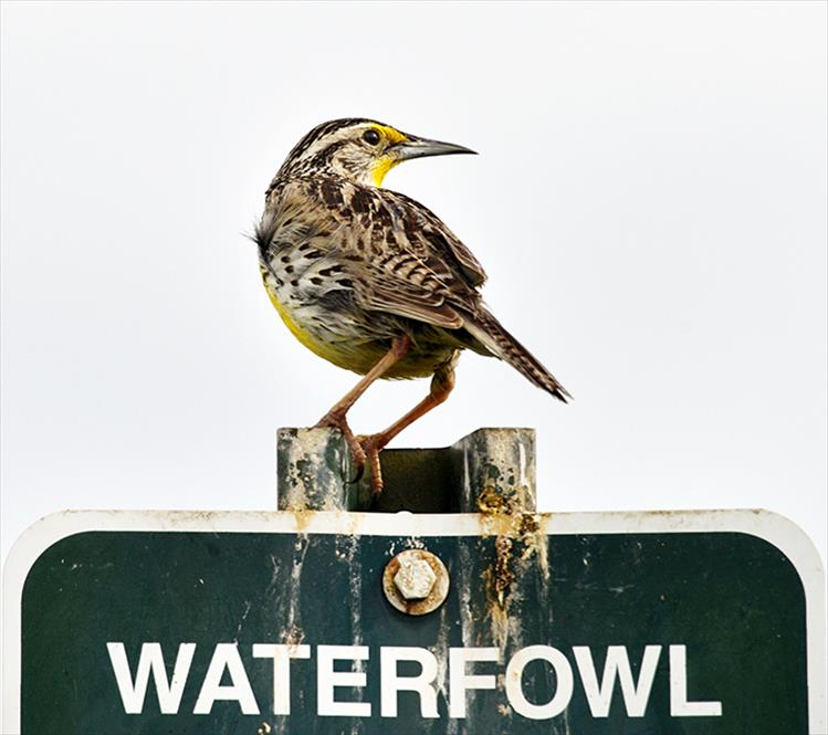 Fake news: A western meadowlark provides a playful joke by perching on a sign about waterfowl.
