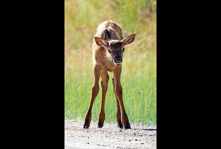 Long legs: Roughly 35 pounds at birth, elk calves grow to the size of a whitetail deer by the time they turn six months old.