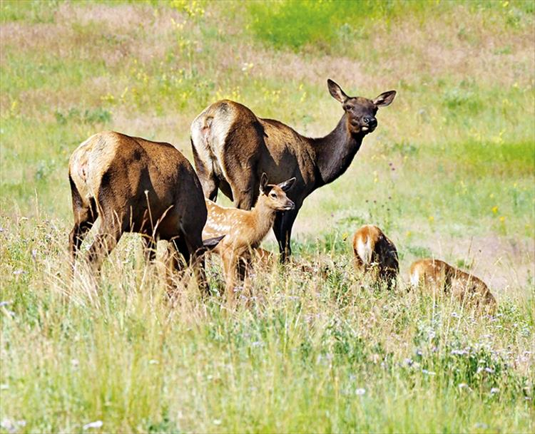 Family meal: A family of elk enjoys a sunny afternoon in a green pasture.