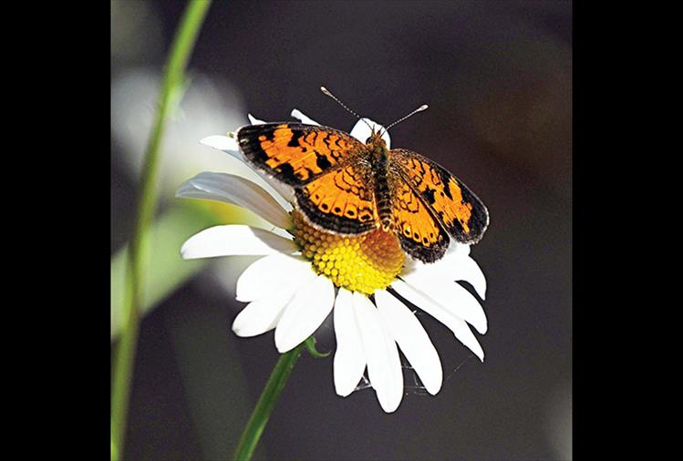 A pretty orange butterfly sits on a daisy