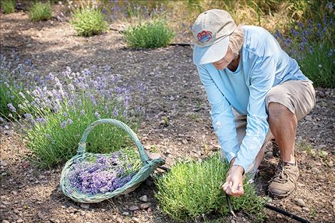 Eileen cuts the first bunches of the English varieties, (Munstead and Blue Hidcote, Lavandula Angustifolia). These yearling plants thrive in the arid heat of summer and will mature to full size within 3 years.