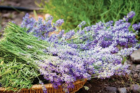 The taller French variety, (Grosso Hybrid, Lavandula Intermedia), will bloom in the follwoing weeks. Both varieties are excellent pollenators and can be used in numerous medicinal, culinary and crafting purposes.