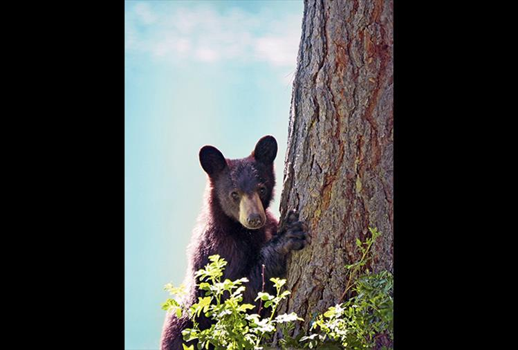 This young black bear was photographed last month dining on food that campers had left at their campsite at Mission Reservoir. Scavenging for food at campgrounds often leads to trouble for bears. Those who recreate are reminded to leave only footprints.