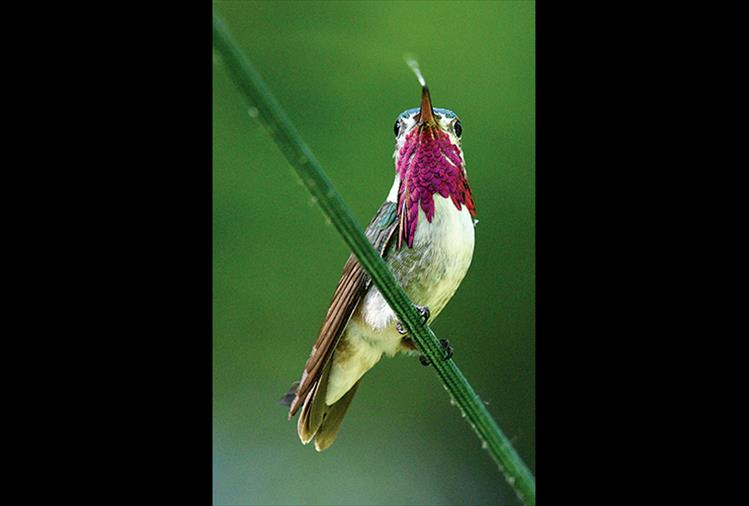A Calliope Hummingbird tastes the air.
