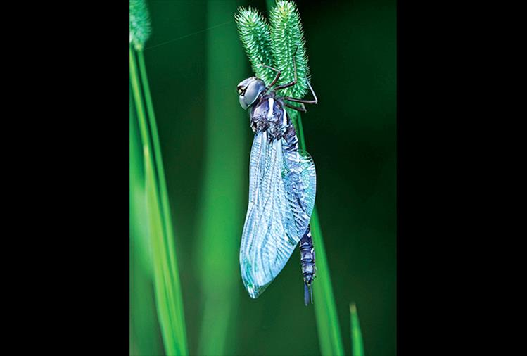 A blue darner dragonfly combs through some greenery long enough to be photographed.