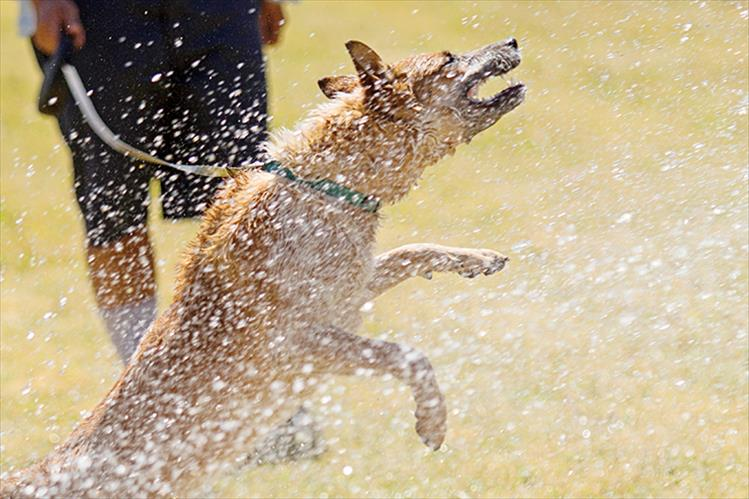 "Dog days of summer cool down: Freckles, a Red Heeler, enjoys a cool spray down from the fire hose at the local park in St. Ignatius during the Skate Jam. Freckles' caregiver Jacob Oly said, ""She loves water and sprinklers."""