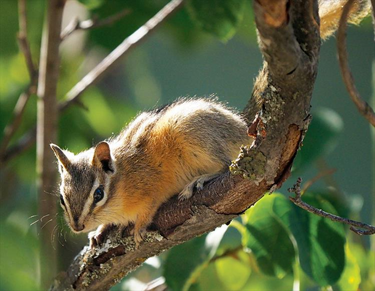 A chipmunk pauses for a photo opp on the limb of a serviceberry tree.