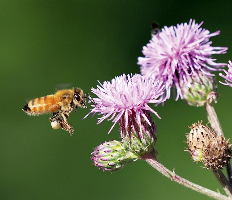 An indispensable honey bee makes a stop at a much maligned knapweek.