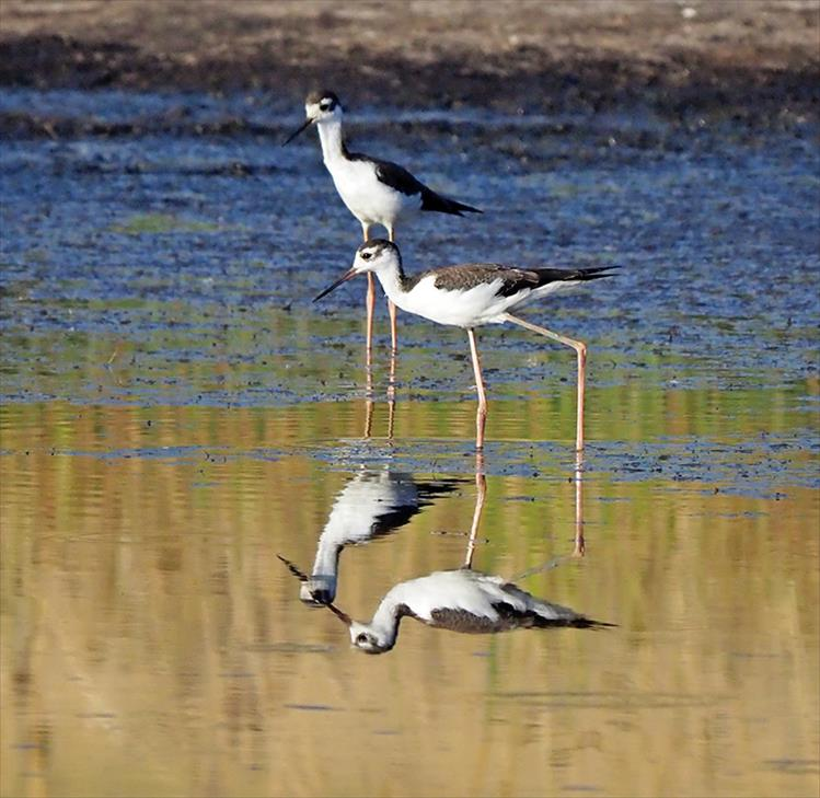 Still water makes for near perfect reflections of black necked stilts.