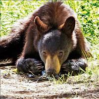 Apple picking project helps protect bears