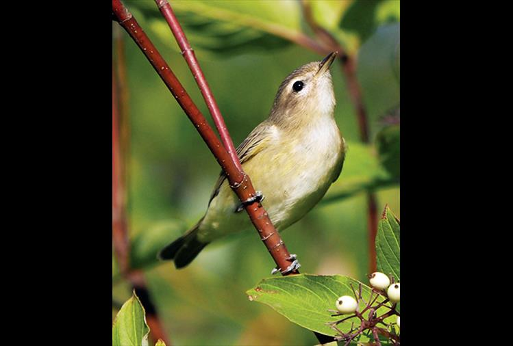 The warbling vireo (Vireo gilvus), a small Northern American songbird with gray-olive upper parts and white under parts washed with faint yellow, is highly noted for its persistent singing of a cheery warbled song.