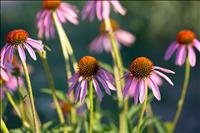 Some native perennials to plant in fall