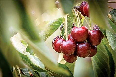 Large cherry producers are beginning to experiment with various automated or mechanized processes for picking cherries, and stem-free cherries are also on the horizon.