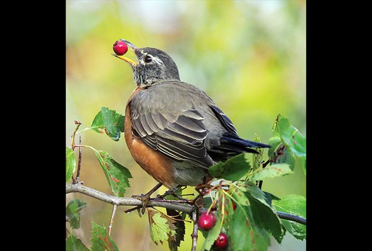 American Robin eating a Hawthorn berry