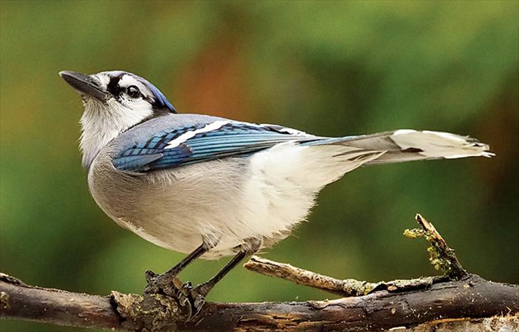 The Blue Jay, an intelligent, adaptable songbird, has a fondness for acorns and according to experts helped to spread oak trees after the last glacial period.