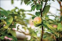 Free workshop series will offer information on growing, managing apple orchard