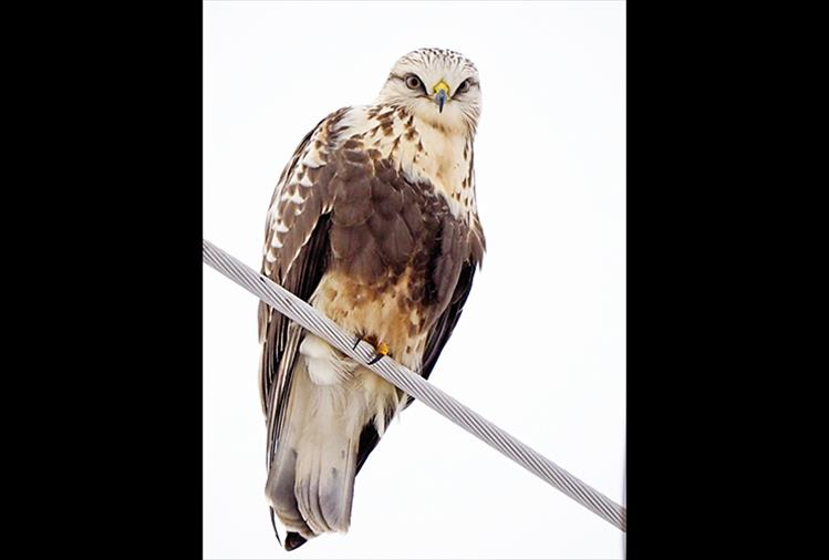 "Yes, my toes have feathers: The name ""Rough-legged"" Hawk refers to the feathered legs. The Rough-legged Hawk, the Ferruginous Hawk, and the Golden Eagle are the only American raptors to have legs feathered all the way to the toes. The oldest Rough-legged Hawk on record, a female, was at least 17 years, 9 months old when found in Illinois in 1979."
