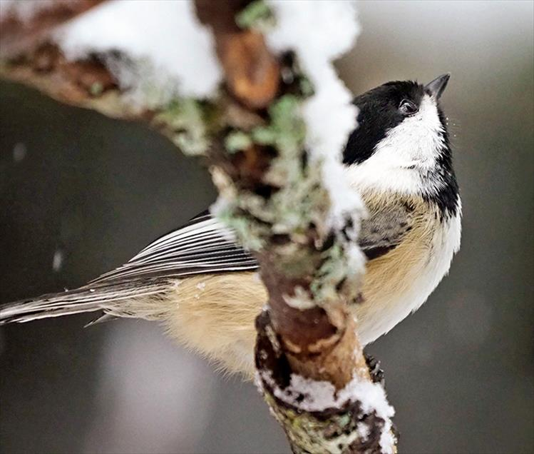 The black-capped chickadee uses tree limbs to hammer open seeds.