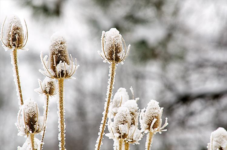 Frost covered teasel