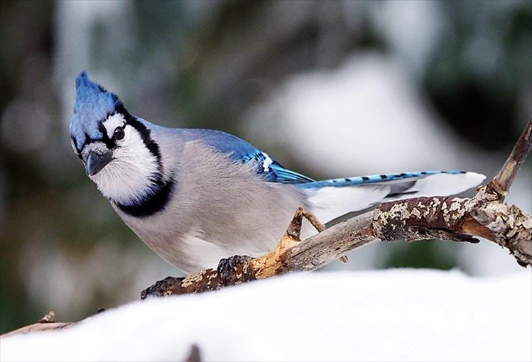 Blue jay - This colorful songbird generally lives on the edge of forested areas. With a particular fondness for acorns, which it holds in its feet while pecking it open, Blue Jays are often found in oak trees. In fact, this bird helped spread oak trees following the last glacial period.