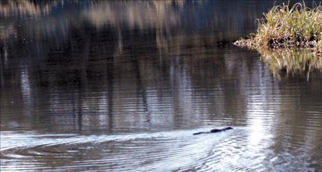 A muskrat swims towards some shoots. It might be one of the only creatures in Western Montana not to care about the water rights compact.