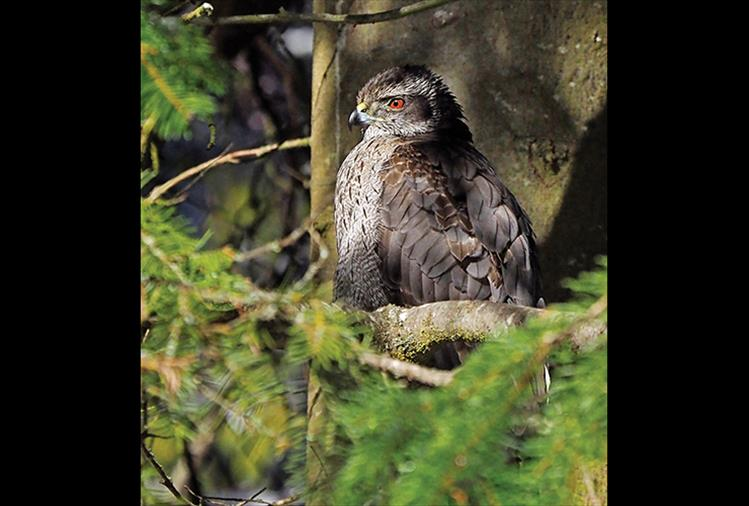 "Stealthy predator: Northern Goshawks are fierce hunters and were once called ""cook's hawk"" for their ability to snare food for falconers. These hawks are very protective of their brooding nests and have even been known to attack people who get too close. Attila the Hun wore an image of a Northern Goshawk on his helmet."