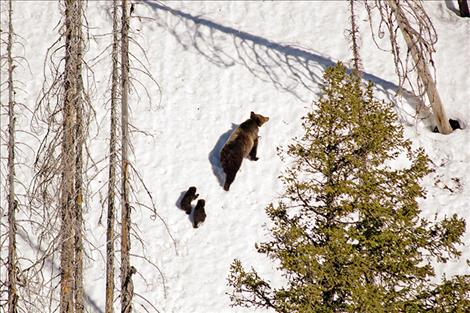 A female grizzly emerges from her den with two cubs in Northwest Montana.