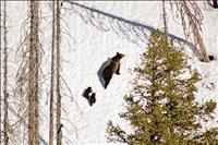 Bears emerge from dens across Northwest Montana