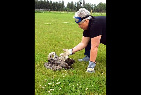 "A frightened young great-horned owl studies GLS staff member Carolyn Hidy after being cut from soccer netting.  ""It was clinging to my finger so tightly I had dents afterwards,"" Hidy said."
