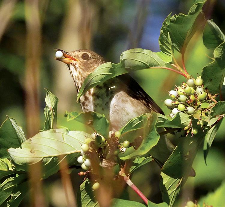 Swainson's Thrush with Red Osier Dogwood berry