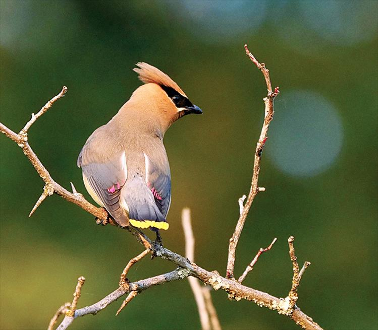 "The male Cedar Waxwing will do a ""hopping dance"" for the female. If she is interested, she'll hop back. During courtship the male and female will sit together and pass small objects back and forth, such as flower petals or an insect. Mating pairs will sometimes rub their beaks together affectionately."
