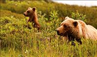 Grizzly bear population objectives named