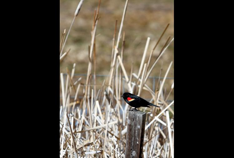 A red-winged blackbird sings to his mate.