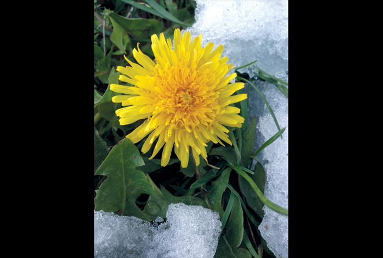 A hardy dandelion remains undaunted by a recent spring snowstorm.