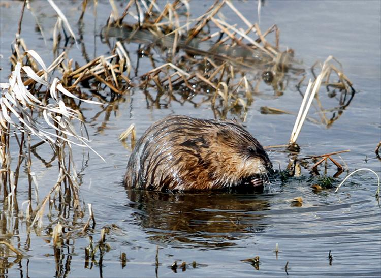 Warmed by the spring sunshine, a muskrat at Ninepipes Reservoir enjoys a fresh lunch.