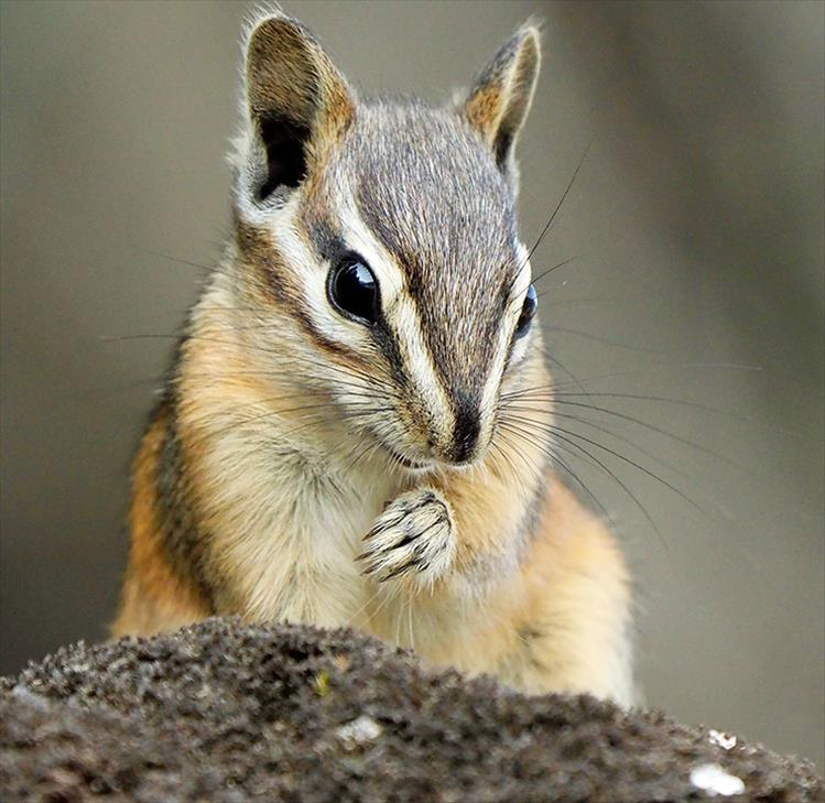 Chipmunks rarely climb trees and prefer to gather their food from the ground. Garden bulbs, insects, berries, seeds and nuts make up the majority of their diet. When stuffed full with food, their cheeks can stretch as big as their heads.