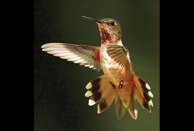 A feisty Rufous hummingbird has been known to even chase away a chipmunk from its nest.