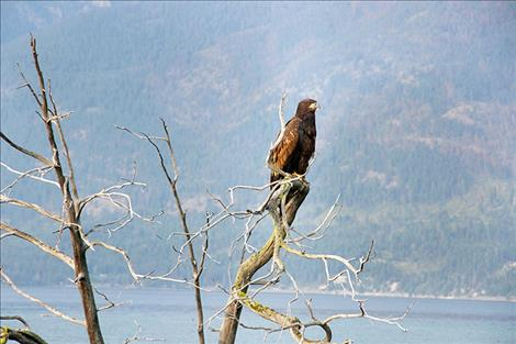 A juvenile bald eagle perches on the branch of a partially submerged tree giving it 360 degree views of the clear Flathead Lake water surrounding it.