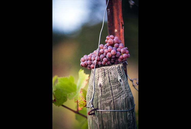 Local vineyards begin their fall harvest.
