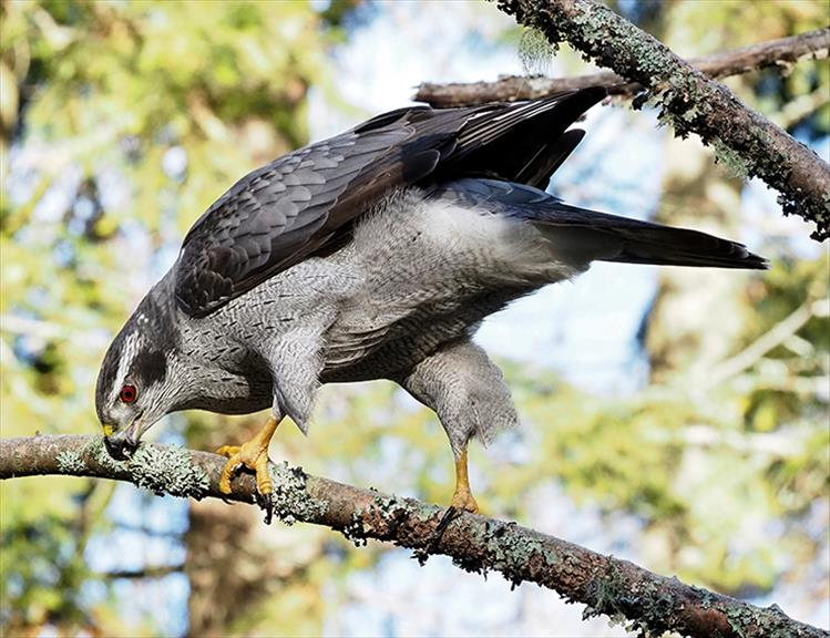 Good hygiene: A Northern Goshawk takes a break to clean his beak.