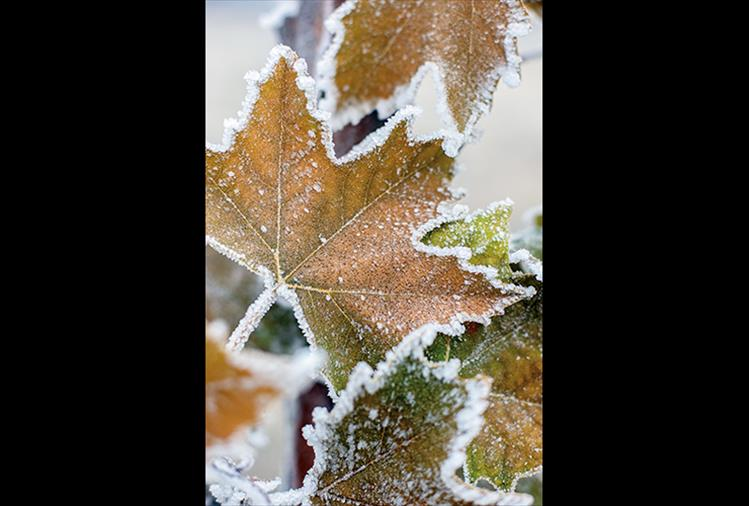 Maple tree leaves, just completing their autumn change from green to gold, get trimmed with a frosting of early winter ice.
