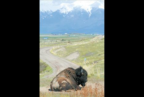 A full-grown bison bull lounges on a sunny spring day at the entrance to Red Sleep Mountain Drive. Park employees hope to open the drive to visitors May 11.