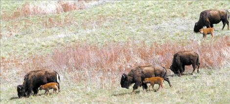 Several newborn bison and their mothers make their way down from the ridgeline as the afternoon sun begins to set.