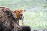 National Bison Range welcomes new website, bison babies