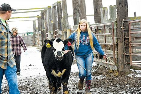 Halle McVicker walks her 4-H steer down the alley after weighing him.