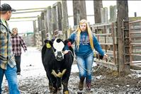 Market steers take first official trip over the 4-H scales