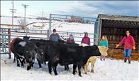 Western Montana Stockmen's Association awards scholarship heifers