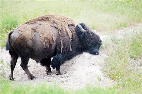 A bison sheds its winter coat at the National Bison Range in Moiese.